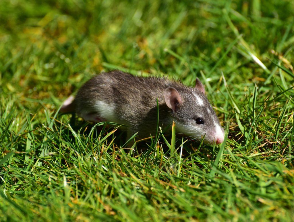Imagem de um rato correndo em um gramado bem verdinho.