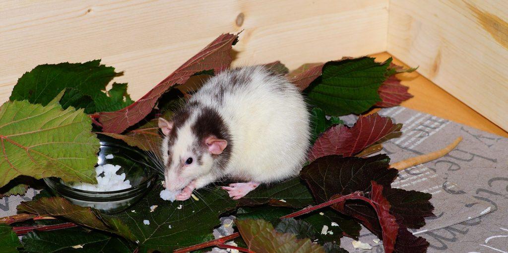 Rato branco roendo uma comida branca. Ele está sobre uma folhagem verde.
