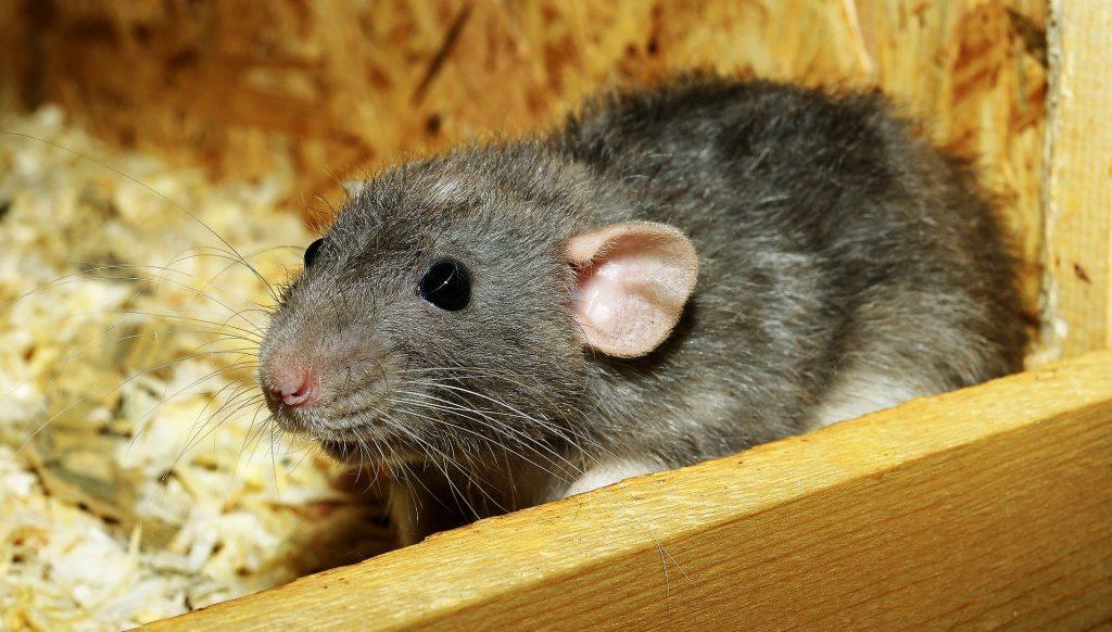Imagem de rato cinza dentro de uma caixa de madeira forrada com serragem.