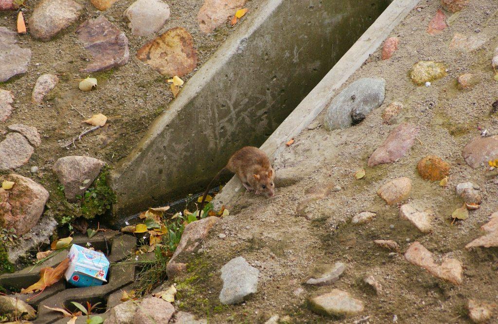 Rato saindo do esgoto cheio de lixo.