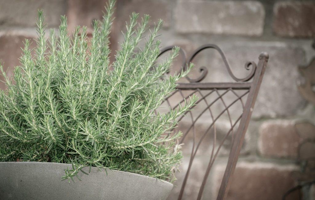 Plantação de alecrim em um vaso grande branco. O vaso está disposto sobre uma cadeira antiga feita de ferro.