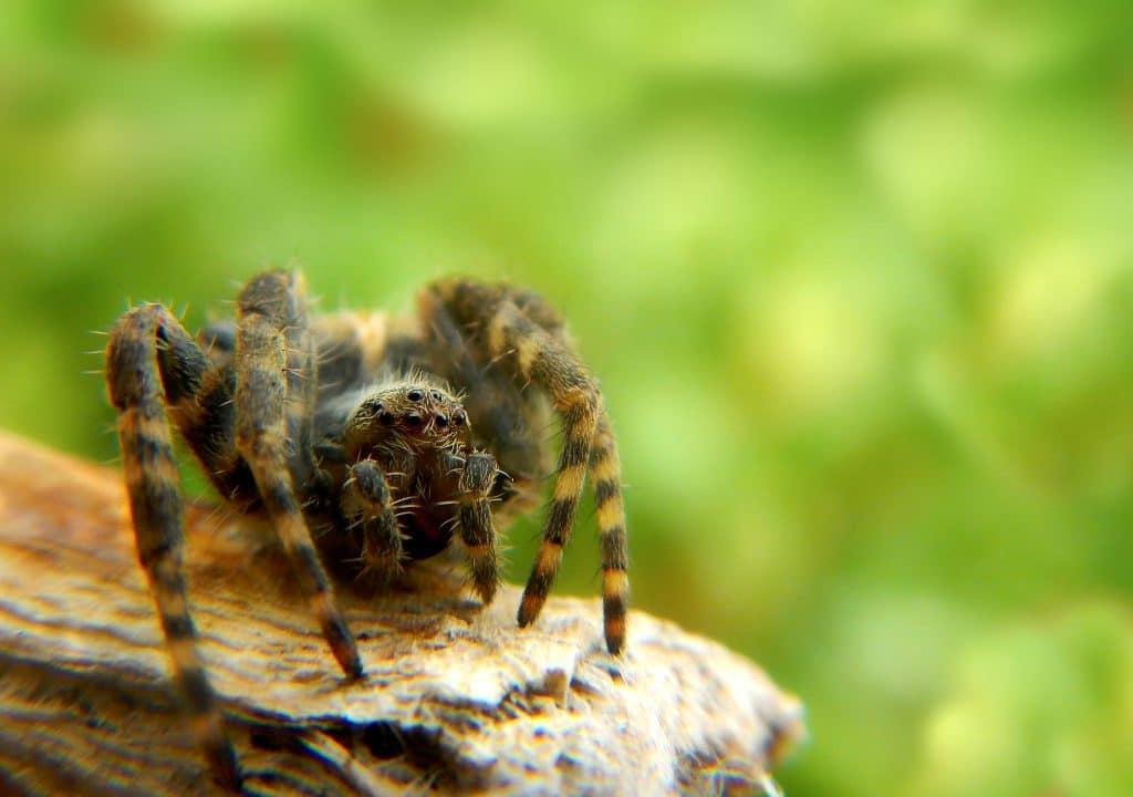 Aranha saltadora nas cores amarela e preto. Ela está andando sobre um tronco de árvore.