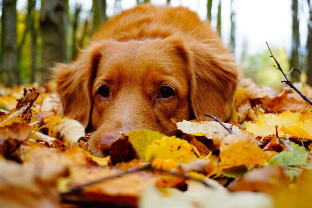 Cachorro deitado em folhas de outono visto de frente