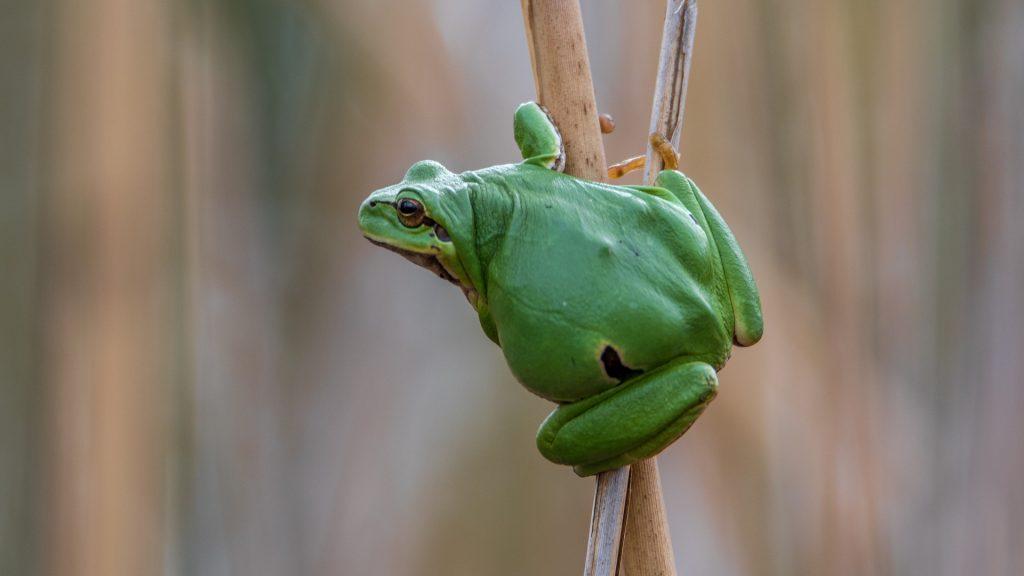 Sapo verde subindo sobre galhos de uma árvore.
