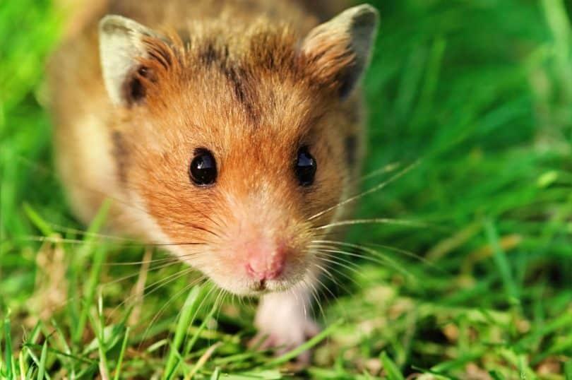 Foto de um rato fofo na grama.