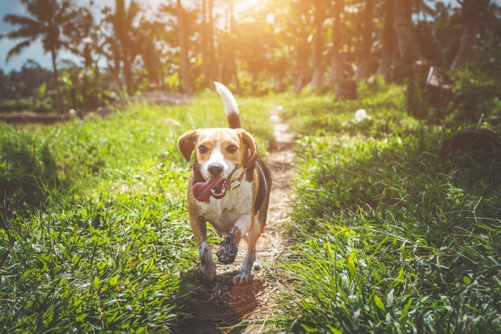 Cachorro beagle correndo em trilha com sol refletindo