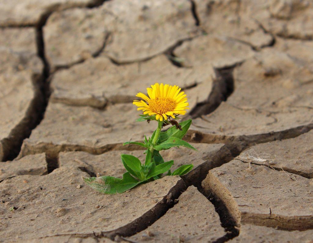 Imagem de uma linda flor amarela que nasceu em uma terra seca e árida.
