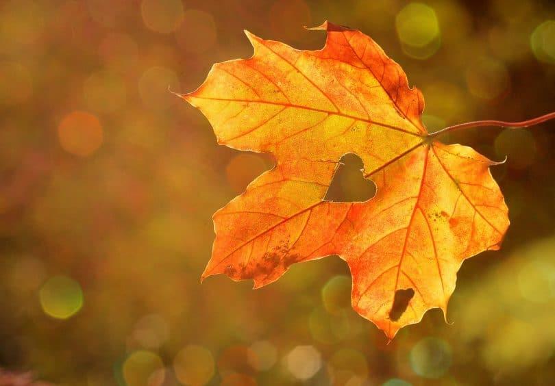 Folha de outono com recorte no meio em formato de coração