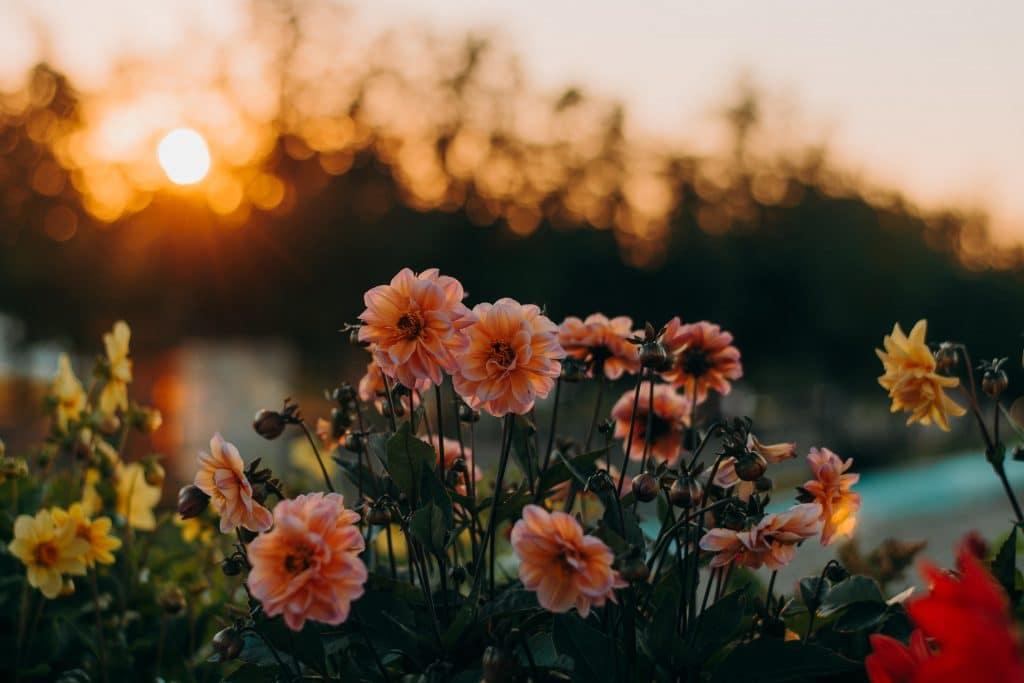 Flores sendo iluminada por um pôr do sol