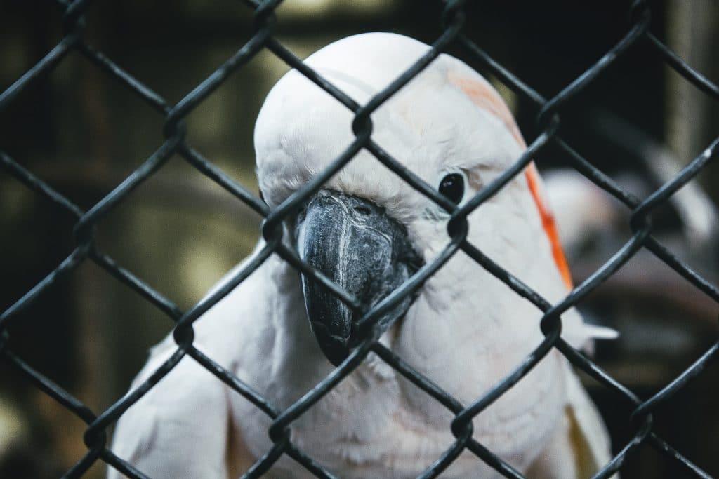 Imagem ampliada de um papagaio preso atrás de grades de metal, olhando para a câmera.