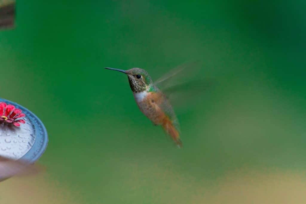 Beija flor voando ao lado de uma flor