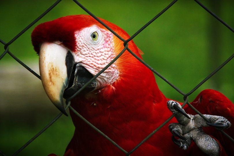 Imagem ampliada de um papagaio preso em uma gaiola, olhando para a câmera através de grades de metal.