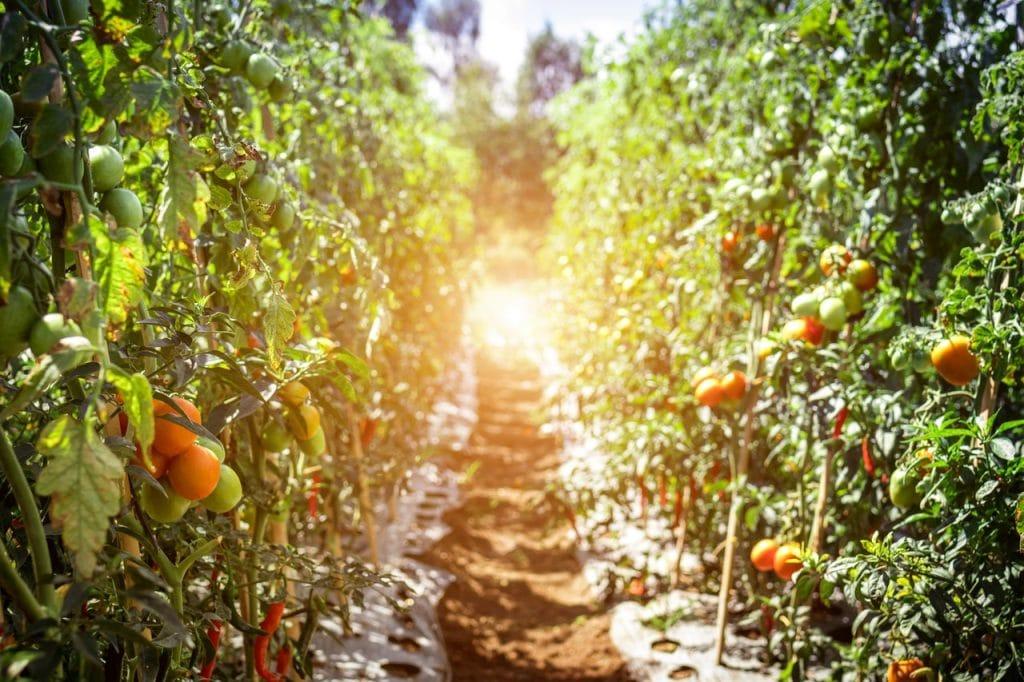 Corredor de terra em meio a plantações de laranjas, em um dia ensolarado.