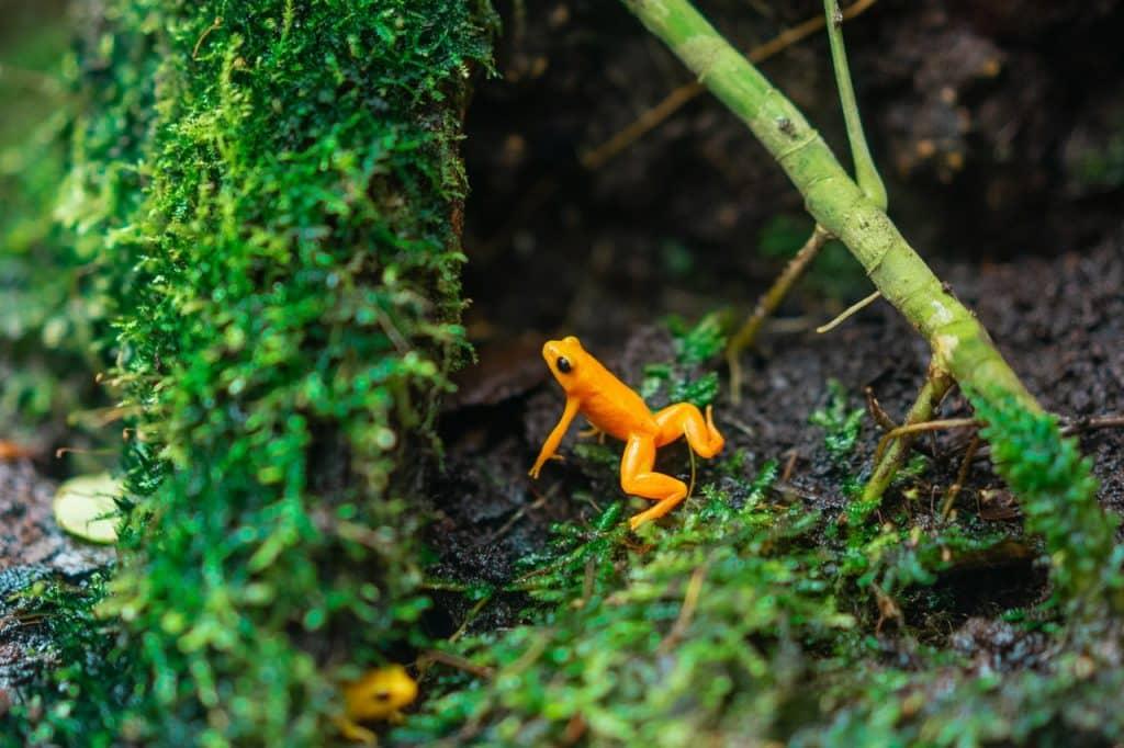 Um pequeno sapo amarelo no meio do mato.