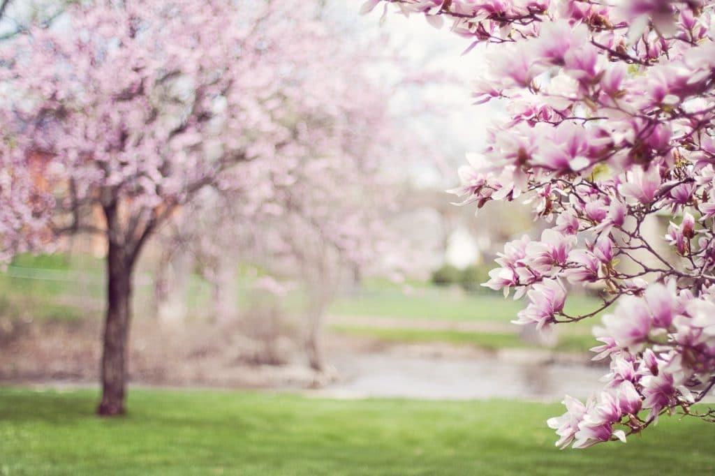 Árvores com flores rosas em um parque com gramado e um lago.