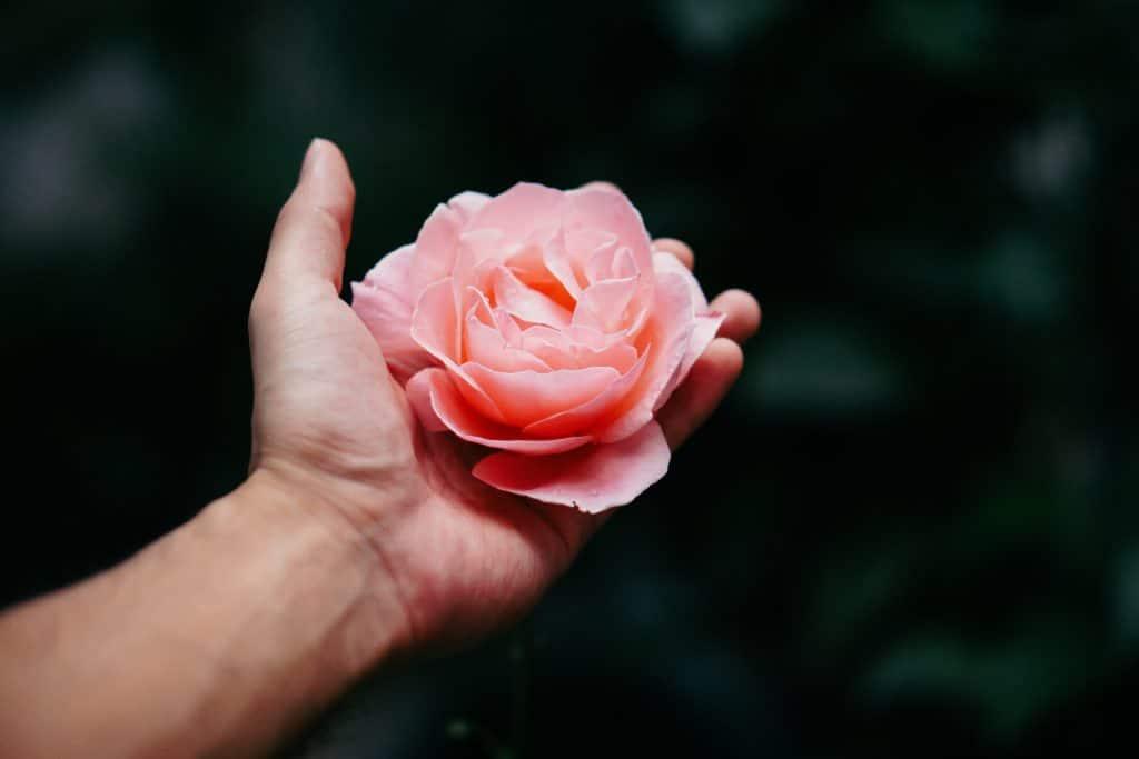 Mão segurando uma flor de rosa grande.
