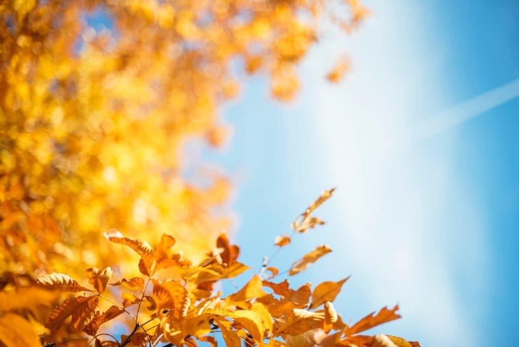 Árvore de outono com as folhas ressecadas em um dia ensolarado.