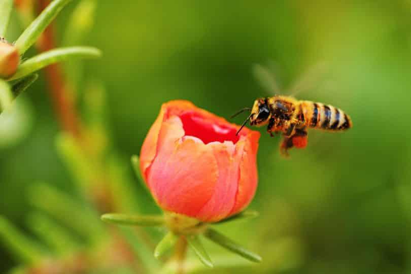 Abelha se aproximando de uma flor vermelha prestes a desabrochar.