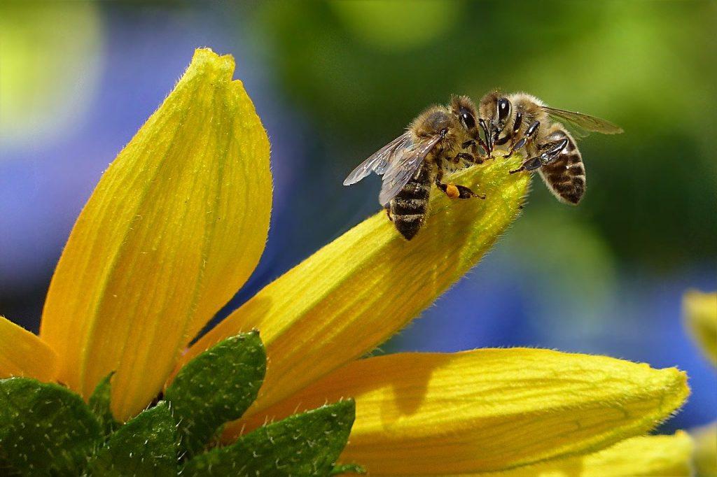 Duas abelhas frente a frente em cima de uma flor amarela.