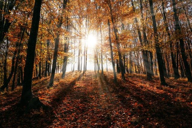 Árvores de floresta durante outono com sol reluzindo entre as árvores