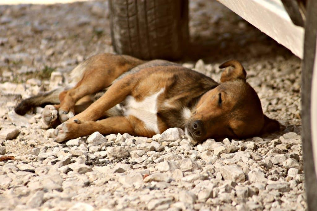 Imagem de um cachorro adulto vira lata nas cores bege claro, escuro e branco. Ele está dormindo sobre uma rua com pedras brancas.