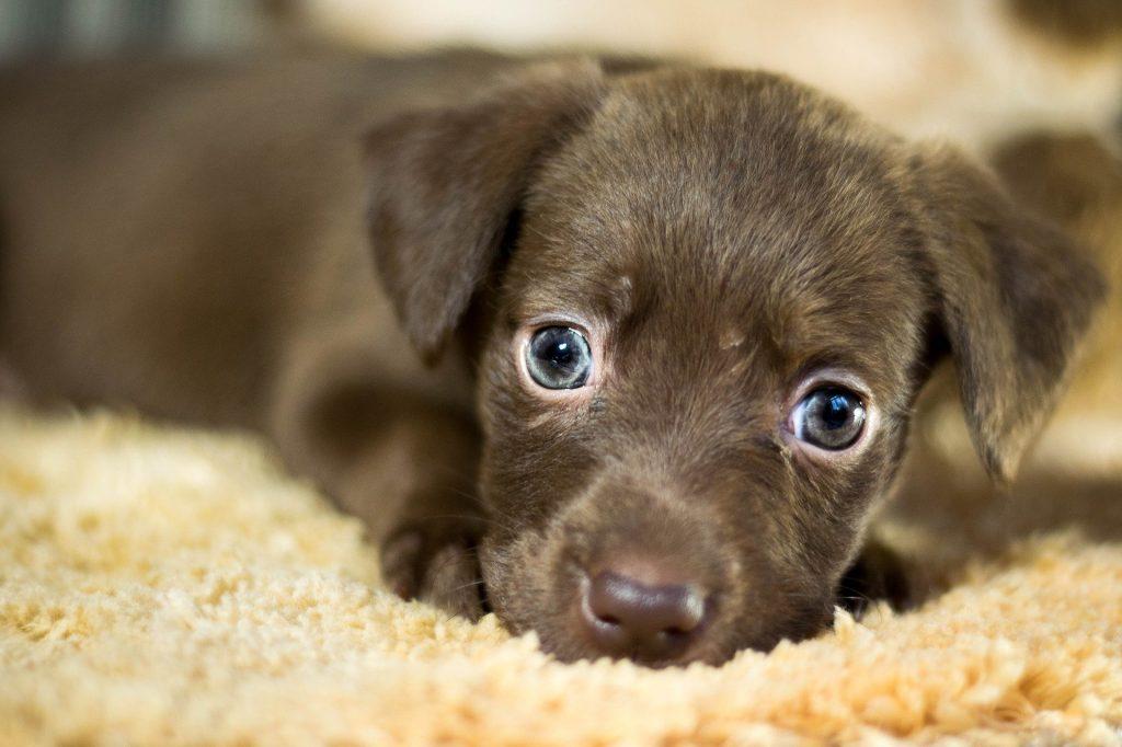 Imagem de um filhote de cachorro sem raça definida na cor marrom escuro. Ele está deitado sobre um tapete bege claro.