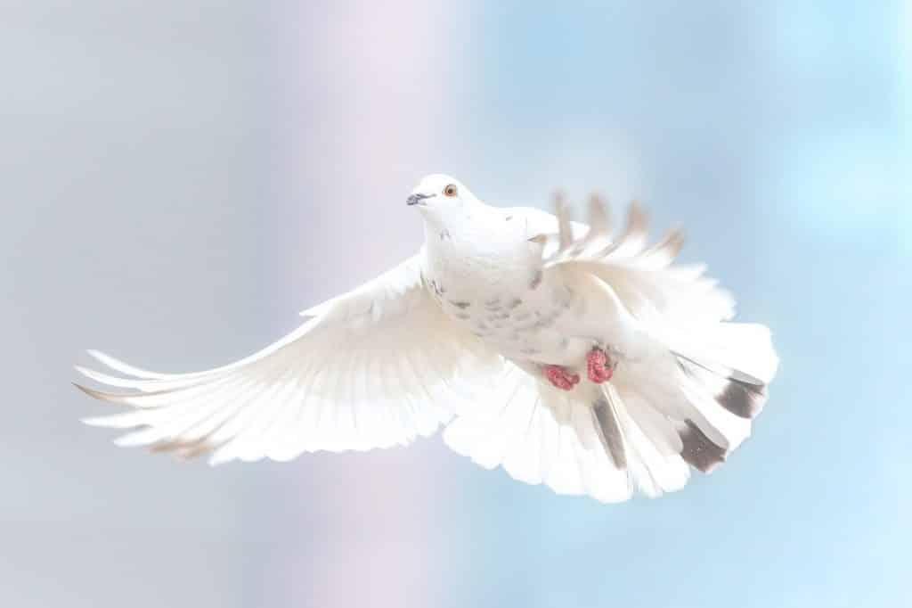 Pomba branca com as asas abertas, voando.