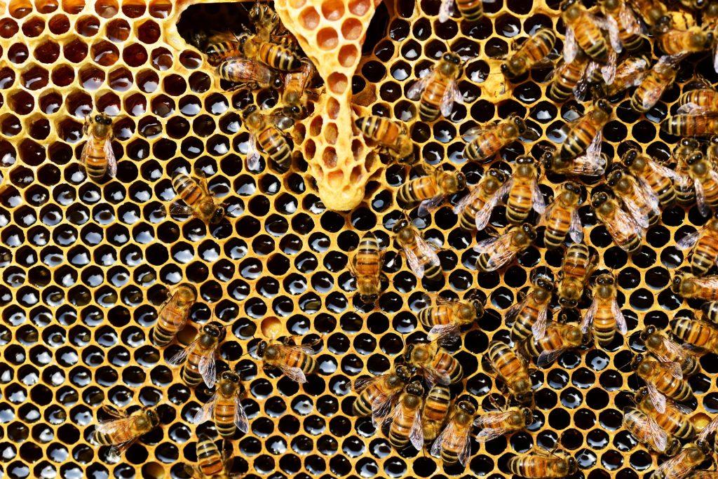Muitas abelhas sobre um favo de mel inteiro.