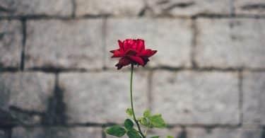 Flor em frente a um muro de concreto