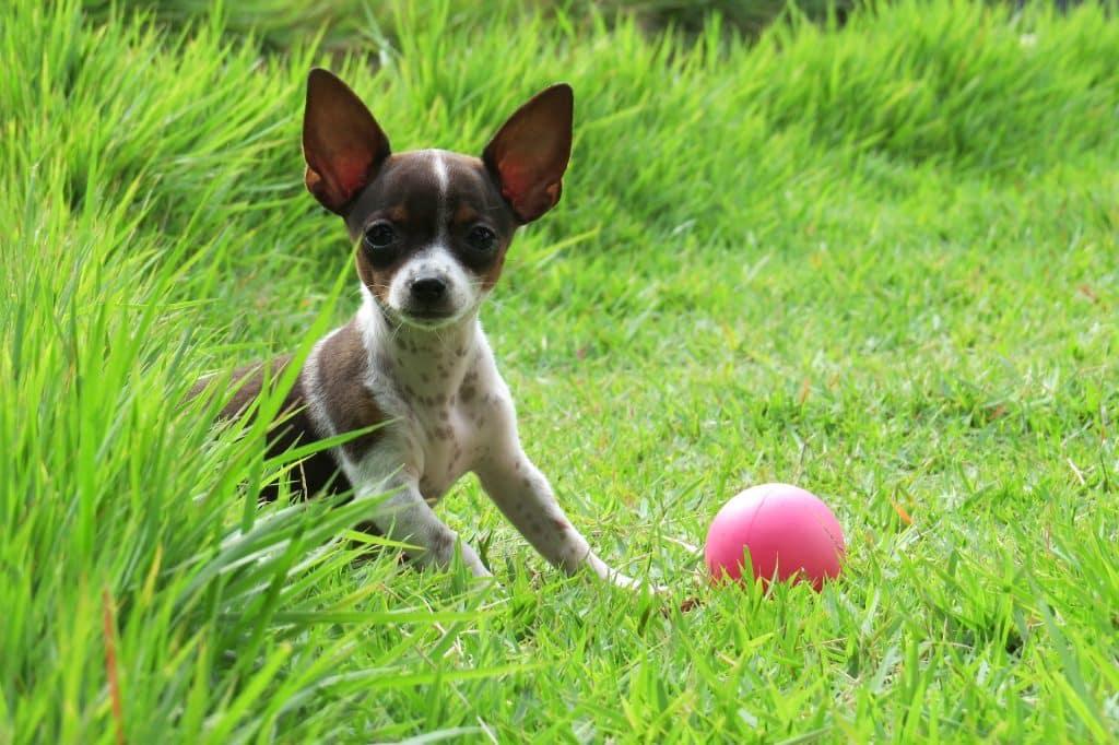 Imagem de um filhote sem raça definida nas cores branco com manchas marrom. Ele está em um gramado e ao lado dele uma bola cor de rosa.