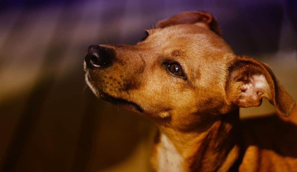 Imagem de um filhote de cachorro caramelo - sem raça definida.