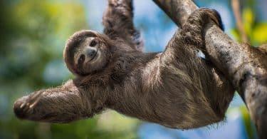 Bicho-preguiça pendurado em árvore, com um dos braços pendurado para fora.