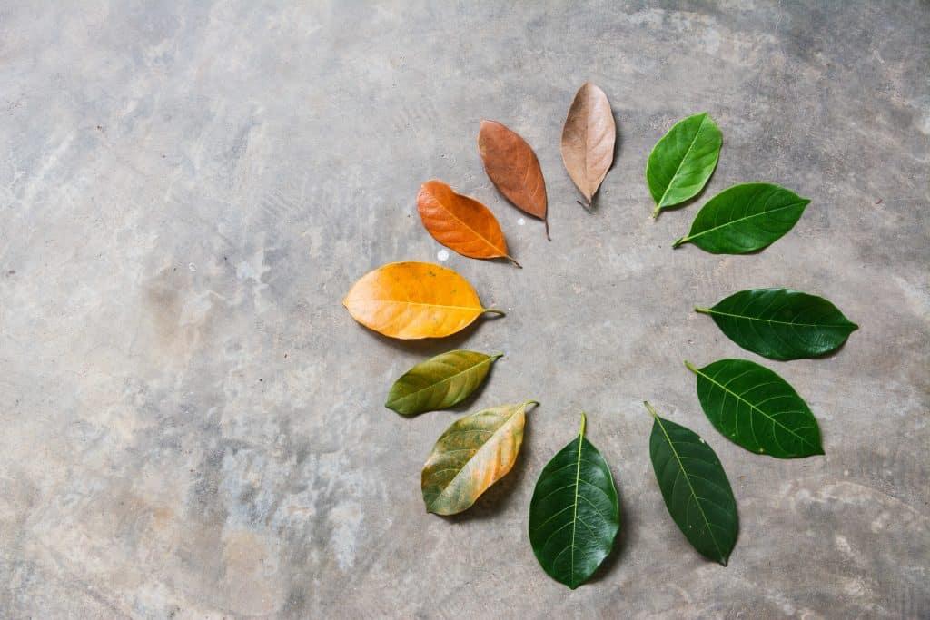 Imagem de várias folhas em seu processo de transformação, mudando de cores (do verde ao amarelo) e de estrutura do liso para uma folha mais seca.
