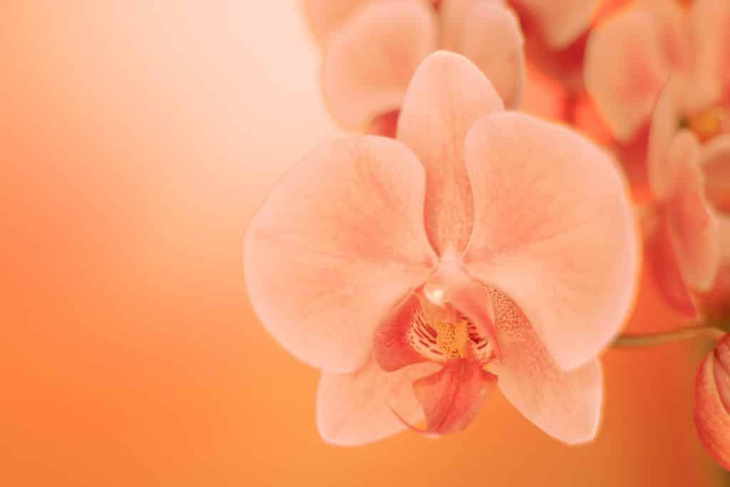 Imagem de uma flor de orquídea na cor laranja. O conceito da flor remete ao clitóris da mulher.