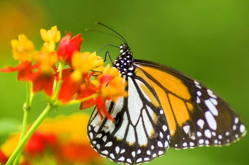 Imagem de uma linda borboleta nas cores branca, marrom e amarela  pousada em uma flor amarela e laranja.