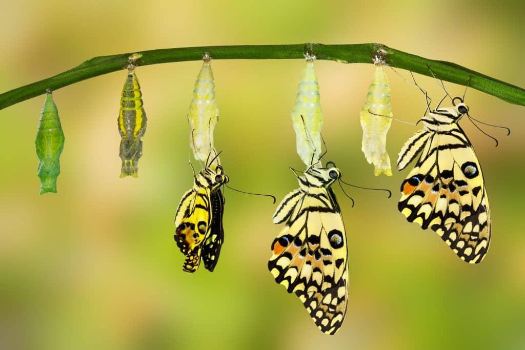 Imagem da transformação e evolução da borboleta.