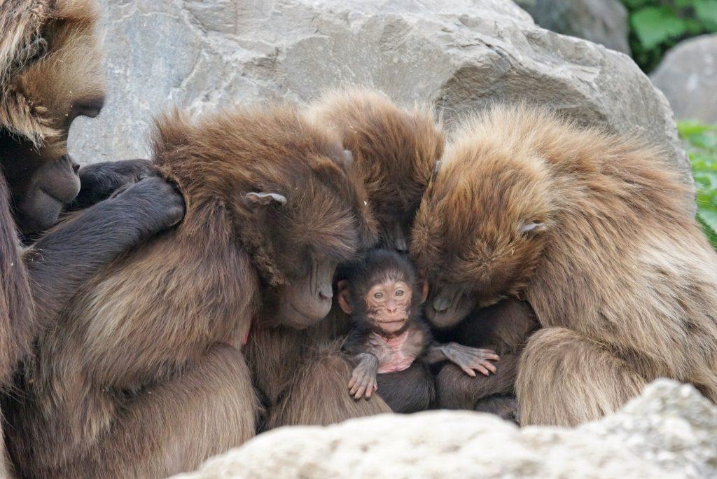 Imagem de vários macacos na cor marrom e ao centro um filhote de macaco.