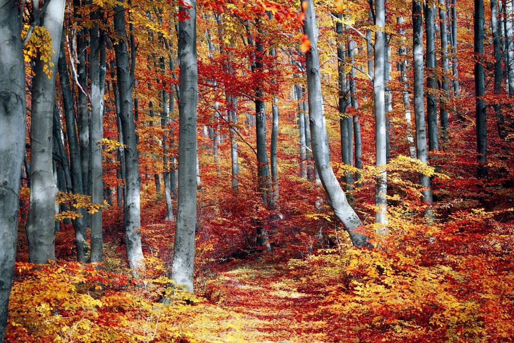 Imagem de uma linda floresta em pleno outono. Todas as árvores estão com suas folhas alaranjadas.