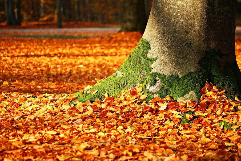 Imagem de um tronco de uma árvore com musgo. Ele se encontra em um parque e o gramado está forrado com folhas de outono alaranjadas.