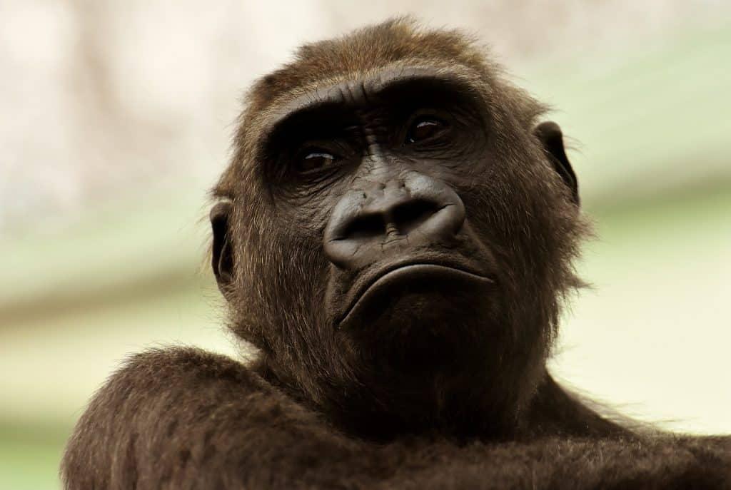 Imagem de um macaco grande na cor preto.