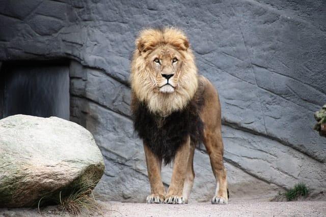 Leão parado com as duas patas da frente unidas