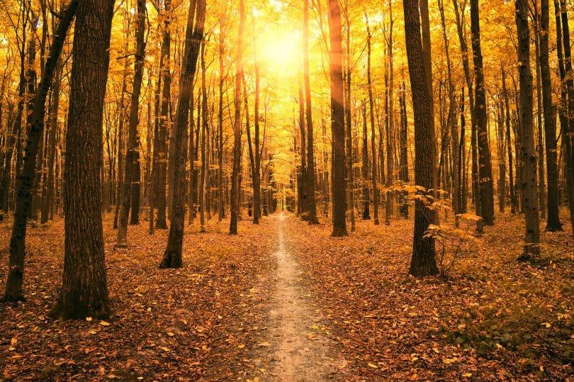 Árvores outonais em floresta.