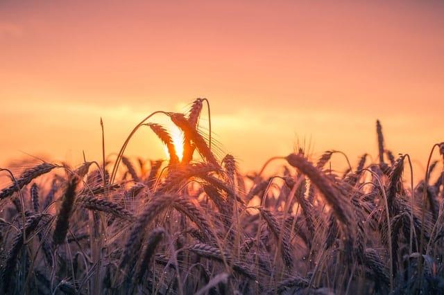 Trigo visto de perto com sol refletindo ao fundo