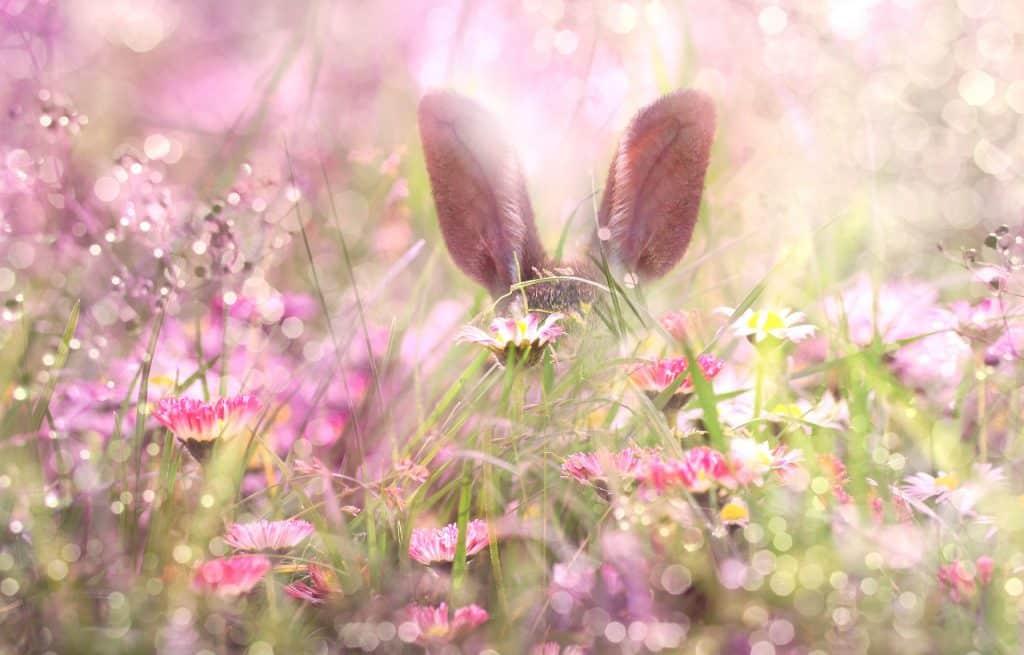 Imagem das orelhas do coelho da Páscoa escondido entre várias flores na cor rosa.