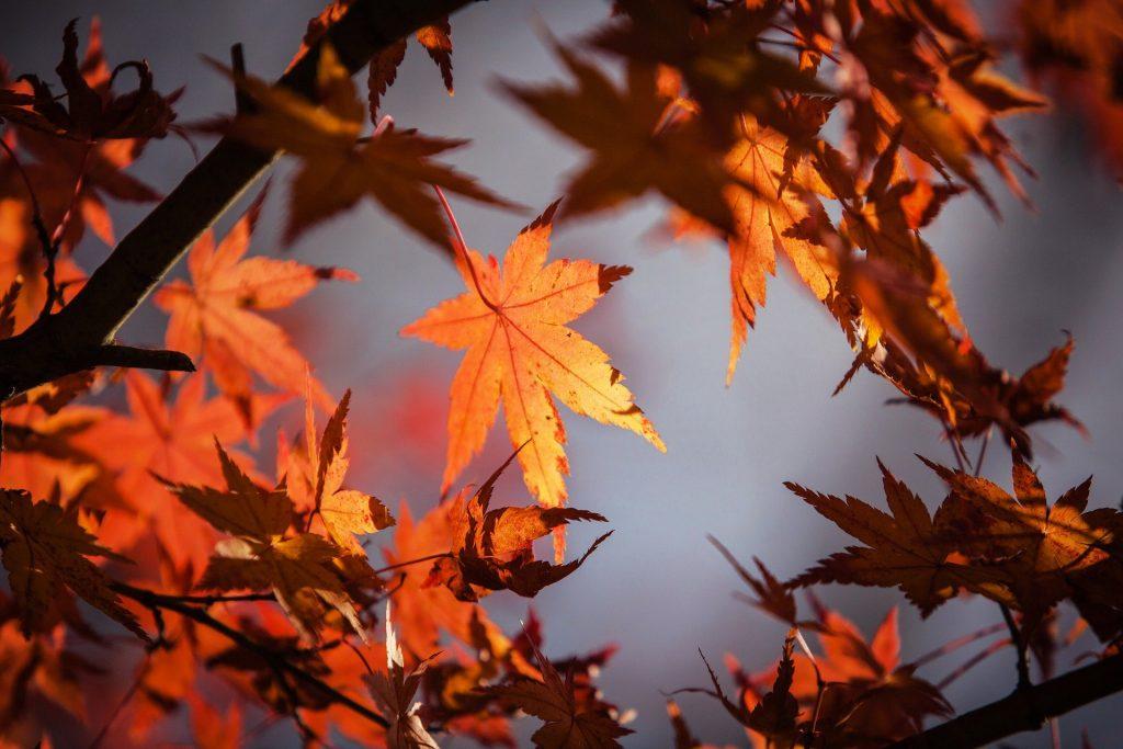Imagem alaranjada de uma árvore de outono e suas folhas também essa cor.