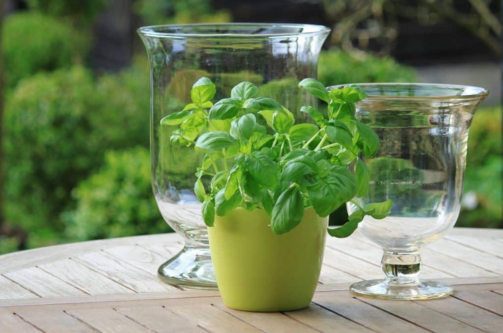 Imagem de receitas com alfavaca. É um suco de limão com alfavaca. Tem um pote com a erva e ao lado duas jarras de vidro onde o suco será servido.
