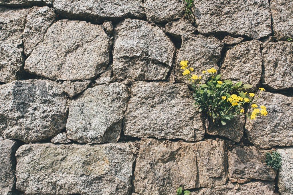 Flores crescendo em um muro de pedras.