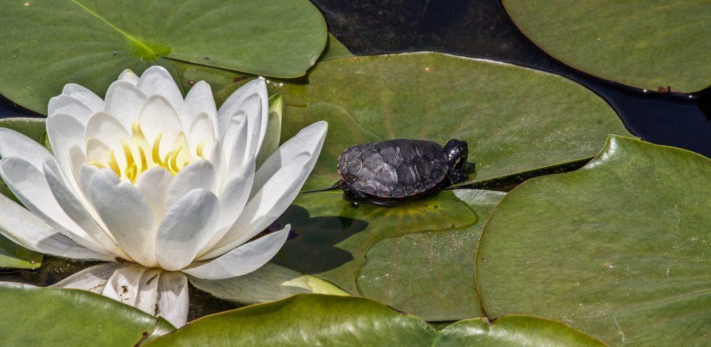 Imagem de uma linda flor de lótus em um lago e ao lado uma pequena tartaruga.
