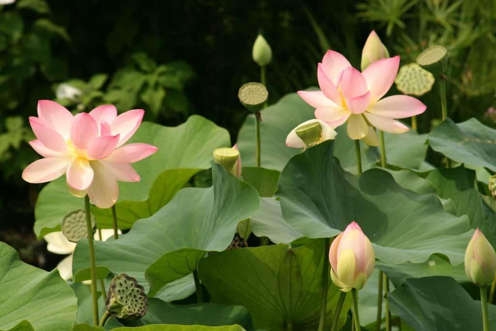 Imagem de uma linda plantação de flores de lótus na cor rosa clara. Algumas estão abertas e outras com botões fechados.