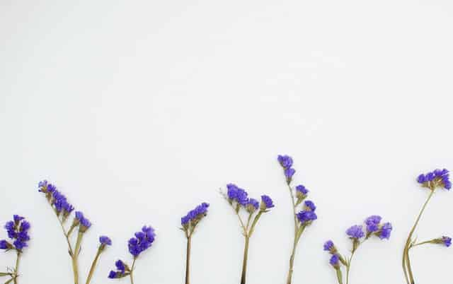 Galhos de Chicory em fundo branco vistos de frente